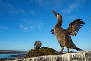 Flightless cormorant (Phalacrocorax harrisi), two on rock. Bird drying wings in foreground with other sitting on nest in background. Cape Douglas, Fernandina Island, Galapagos. - Tui De Roy