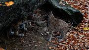 Two Lynx (Lynx lynx) kittens play fighting in front of den entrance, Bavarian Forest National Park, Germany, October. Captive. - Philippe Clement