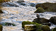European dipper (Cinclus cinclus) perched on rock in stream and looking around, Luxembourg, April. - Philippe Clement
