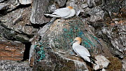 Northern gannets (Morus bassanus) sitting on nests made with plastic, Hermaness NNR, Unst, Shetland Islands, Scotland, UK, May. - Philippe Clement