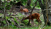 Pair of Roe deer (Capreolus capreolus) resting and grazing in forest in summer, France, September. - Philippe Clement