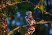 Ural owl (Strix uralensis) female stretching wings whilst perched in Spruce (Picea sp) tree. Tartumaa, Southern Estonia. May. - Sven  Zacek