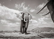 Black and white image of African elephant (Loxodonta africana) bulls males facing off against each other, Tsavo Conservation Area, Kenya. Editorial use only. Other uses need clearance. - Will Burrard-Lucas