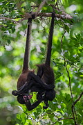 Central American spider monkey (Ateles geoffroyi) juveniles hanging by tails and playing, Calakmul Biosphere Reserve, Yucatan Peninsula, Mexico, August  -  Claudio  Contreras