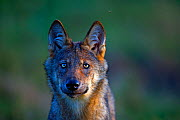 Wolf (Canis lupus), in meadow, Saxony-Anhalt, Germany - Axel  Gomille