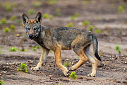 Wolf (Canis lupus), cub, Saxony-Anhalt, Germany, July. - Axel  Gomille