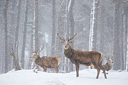 Red deer (Cervus elaphus) stags in snowy Pine forest. Scotland, UK. March. - Paul Hobson