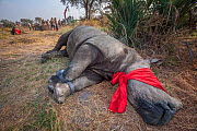 A blindfolded and tranquilised adult White rhinoceros (Ceratotherium simum) with tracking tags lies and recovers in the Okavango Delta in northern Botswana following a translocation operation that inv...  -  Neil Aldridge