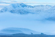 Misty landscape with Red deer (Cervus elaphus) Black Mount, Highlands, Scotland, November. - Guy Edwardes