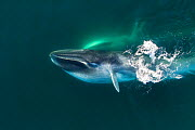 Aerial view of Fin whale (Balaenoptera physalus) lunge-feeding, with throat pouch distended, southern Sea of Cortez (Gulf of California), Baja California, Mexico. - Mark Carwardine
