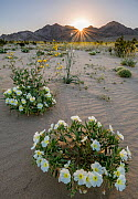 Birdcage evening primrose (Oenothera deltoides) and desert golds (Geraea canescens) carpet the sandy washes beneath the Calumet Mountains at dawn. Mojave Trail National Monument, Mojave Desert, Califo... - Jack Dykinga