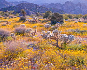 Backlit silver cholla cactus (Cylindropuntia echinocarpa) surrounded by California poppies (Eschscholzia californica), beneath the eroded boulders that define the park. Joshua Tree National Park, Moja... - Jack Dykinga