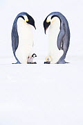 Emperor penguin (Aptenodytes forsteri), two males, one brooding young chick, the other incubating hatching egg. Atka Bay, Antarctica. August. Series 3/4. - Stefan Christmann