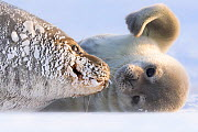 Weddell seal (Leptonychotes weddellii) female hauled out with pup, Atka Bay, Queen Maud Land, Antarctica. October. - Stefan Christmann