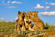Grey wolf (Canis lupus) female and two cubs, one howling. Controlled conditions - Klein & Hubert