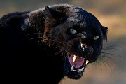 Black / Melanistic Leopard (Panthera pardus) growling. Controlled conditions  -  Klein & Hubert