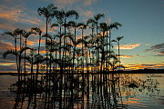 Moriche palm tree (Mauritia flexuosa) at Laguna Grande in an area of flooded forest, Cuyabeno wildlife reserve, Sucumbios, Amazon rainforest, Ecuador, July, Cuyabeno wildlife reserve, Sucumbios, Amazo...  -  David  Pattyn
