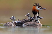 Great crested grebe (Podiceps cristatus) adult with young on its back and in the water, Valkenhorst Nature Reserve, Valkenswaard, The Netherlands, June  -  David  Pattyn
