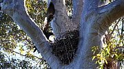 Slow motion clip of a Wedge-tailed eagle (Aquila audax) landing in nest, Mimosa National Park, New South Wales, Australia , September. - David Gallan