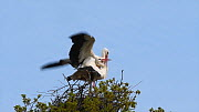 Pair of White storks (Ciconia ciconia) mating on their nest, Knepp Castle Estate, Sussex, England, UK, April. This is the first recorded instance of White storks nesting in the UK for several hundreds... - Nick Upton