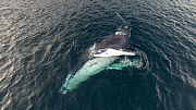 Aerial shot of a Humpback whale (Megaptera novaeangliae) showing belly and blowing, Troms, Norway, January. - Espen Bergersen