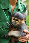 Red-shanked douc langur (Pygathrix nemaeus) infant sucking thumb while caretaker holds it. Animal was rescued from illegal wildlife trade, Endangered Primate Rescue Center, Cuc Phuong National Park, V...  -  Suzi Eszterhas