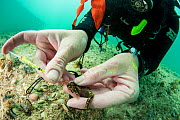 Marine biologist Dr. Heather Masonjones tags a seahorse (Hippocampus erectus) to study a land locked alakaline lagoon's population. Through this method of injecting a non-toxic dye that can only b...  -  Shane Gross