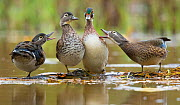 Wood Ducks (Aix sponsa), females behave aggressively toward a male (second from right) that is trying to join them on a floating log, autumn, New York, USA, October. - Marie  Read