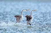 Western Grebe (Aechmorphus occidentalis), pair during 'rushing' courtship display in which they run across water's surface in synchrony, near Escondido, California, USA, January. - Marie  Read
