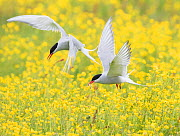 Arctic terns (Sterna paradisaea), two in flight over nesting colony in field of buttercups (Ranunculus sp.), Keflavik, Iceland. Digital canvas expansion. - Marie  Read