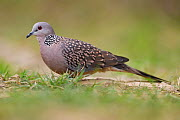 Spotted dove (Spilopelia chinensis) Keoladeo Ghana National Park, Bharatpur, Rajasthan, India - Staffan Widstrand
