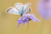RF - Chalkhill blue butterfly (Lysandra coridon) male basking with wings open on Devils-bit scabious (Succisa pratensis), Hatch Hill, Somerset, UK. August. (This image may be licensed either as rights... - Ross Hoddinott