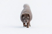 Arctic fox (Vulpes lagopus). Blue colour morph. Hornstrandir Nature Reserve, Iceland. March  -  Terry  Whittaker