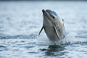 Common dolphin (Delphinus delphis) jumping out the water, Shetland, Scotland, UK, January.  -  SCOTLAND: The Big Picture