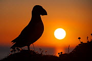 Puffin (Fratercula arctica) silhouetted at sunset on Hermaness, Shetland, Scotland, UK, June.  -  SCOTLAND: The Big Picture