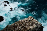 Aerial view of nesting Gannets (Morus bassanus) and swirling seas, Hermaness, Shetland, Scotland, UK, October.  -  SCOTLAND: The Big Picture