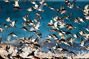 Turnstones (Arenaria interpres) and Purple sandpipers (Calidris maritima) over wintering on the beaches of the Orkney Isles, Scotland, UK, April.  -  SCOTLAND: The Big Picture