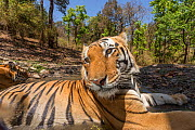 Bengal tiger (Panthera tigris tigris) dominant male (T29) and resident female (T27) cooling off in a watering hole Kanha National Park, Central India. Camera trap image. - Yashpal Rathore