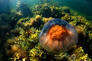 Lions mane jellyfish (Cyanea capillata) drifts over intertidal seaweeds off Nova Scotia, Canada. July - Nick Hawkins