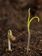 Gardeners delight, Cherry tomato seedling just germinated with cotyledons above the soil  -  Nigel Cattlin