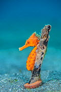 Common seahorse (Hippocampus kuda) female wrapping her prehensile tail around piece of wood on the seabed. Bitung, North Sulawesi, Indonesia. Lembeh Strait, Molucca Sea.  -  Alex Mustard