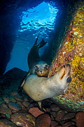 California sea lion (Zalophus californianus) pups in an underwater cave. Los Islotes, La Paz, Baja California Sur, Mexico. Sea of Cortez, Gulf of California, East Pacific Ocean.  -  Alex Mustard
