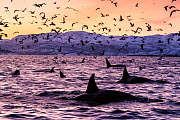 Killer whales (Orcinus orca) at the surface in an Arctic fjord in Spildra, northern Norway, with sea birds. Arctic Ocean - Alex Mustard