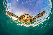 Green turtle (Chelonia mydas) descending after breathing at the surface. Misool, Raja Ampat, West Papua, Indonesia. Ceram Sea. Tropical West Pacific Ocean. - Alex Mustard