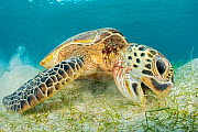 RF - Green sea turtle (Chelonia mydas) Misool, Raja Ampat, West Papua, Indonesia. Ceram Sea. Tropical West Pacific Ocean. (This image may be licensed either as rights managed or royalty free.)  -  Alex Mustard