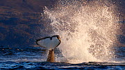 Killer whale / orca (Orcinus orca) splashing with tail fluke. Kvaloya, Troms, Norway October Sequence 4 of 7 - Espen Bergersen