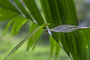 Green vine snake (Ahaetulla nasuta), Sinharaja Forest Reserve, Unesco Biosphere Reserve and World Heritage Site, Sri Lanka. The green vine snake changes from pure green to chequered markings when it f...  -  Duncan Murrell
