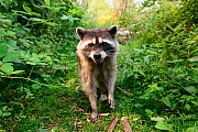 Raccoon (Procyon lotor) approaching with curiousity. Stanley Park, Vancouver, British Columbia, Canada. August. - Oscar Dewhurst