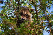 North American raccoon (Procyon lotor) cub peering out of tree. Texas, USA. July. - Karine Aigner