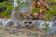 Raccoon (Procyon lotor) foraging in woodland. Acadia National Park, Maine, USA. April. - George  Sanker